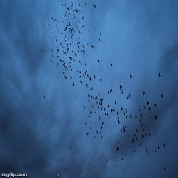 Pigeon art 1